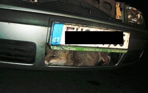 Raposa sobrevive após ser atingida por carro e ficar presa em parachoque