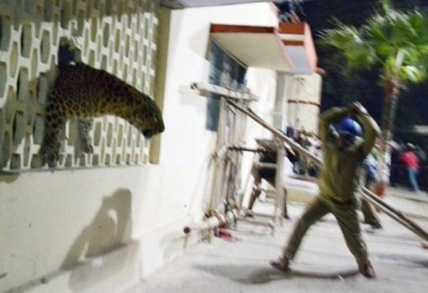 Leopardo invade hospital, causa pânico e cidade se mobiliza para caçar felino