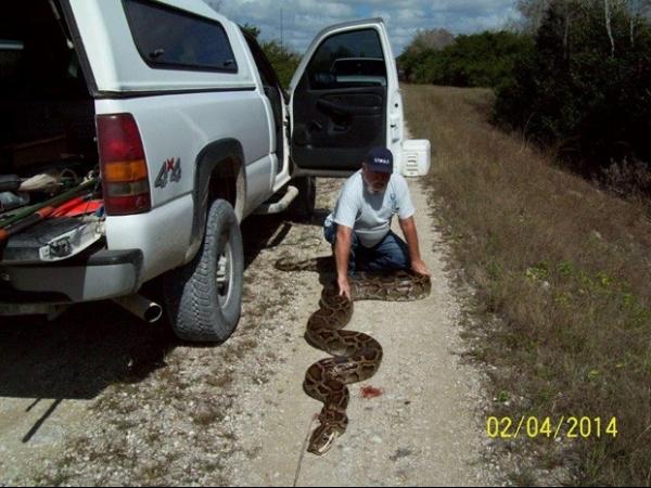 Cobra de 5,5m encontrada em dique quase bate recorde e acaba abatida