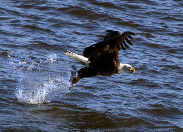 Americano usa estilingue gigante para jogar peixes para águias em rio