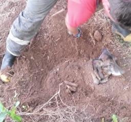 Vídeo mostra resgate de cadela enterrada viva no interior do RS