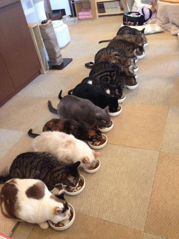 Gatos organizados comem lado a lado em