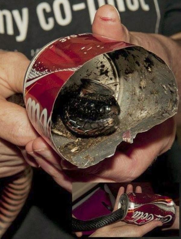 Cobra é salva após entalar cabeça em lata de refrigerante na Austrália