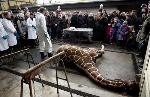 Após matar girafa, zoo da Europa vai matar família inteira de leões saudáveis