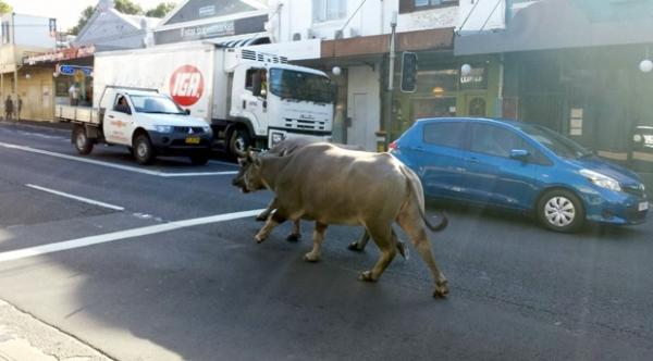 Búfalos escapam durante gravação e assustam motoristas na Austrália