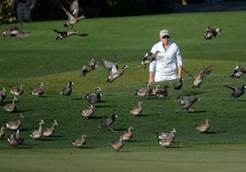 Bando de patos invade um torneio feminino de golfe nos Estados Unidos