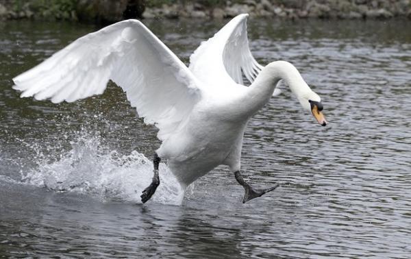 Cisne até