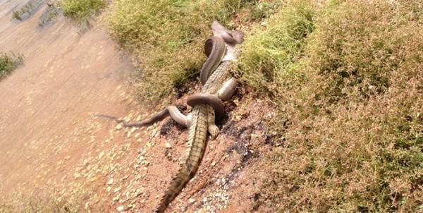 Cobra engole crocodilo depois de luta em lago na Austrália