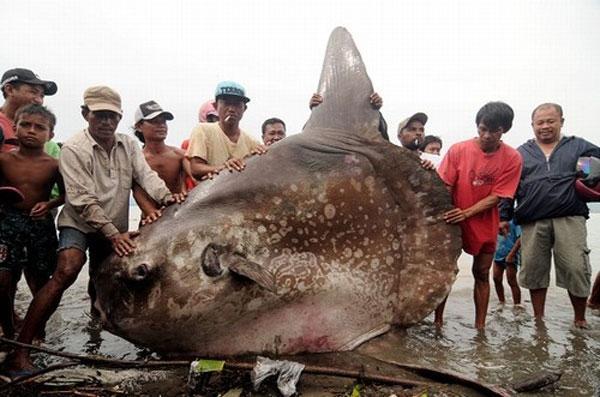 Pescadores fisgam peixe de uma tonelada e 2 metros na Indon駸ia