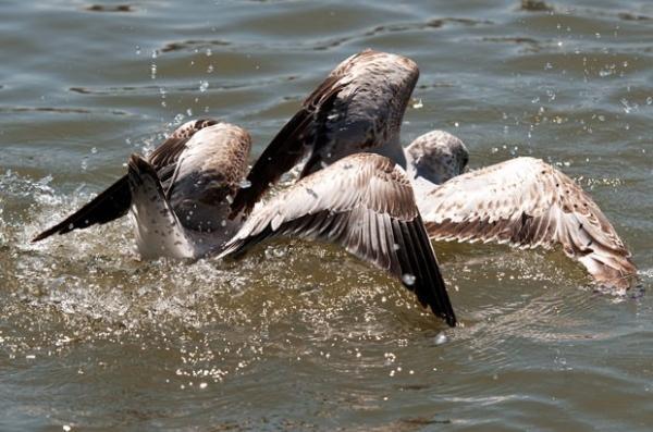 Gaivotas brigam por comida em rio nos EUA