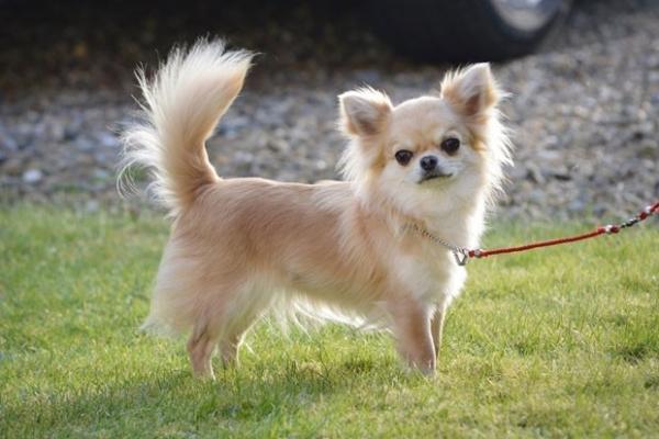 Ladrões invadem casa na Inglaterra e roubam cadela campeã de concurso