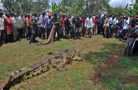 Crocodilo gigante que teria matado e comido quatro pessoas é capturado por agentes ambientais