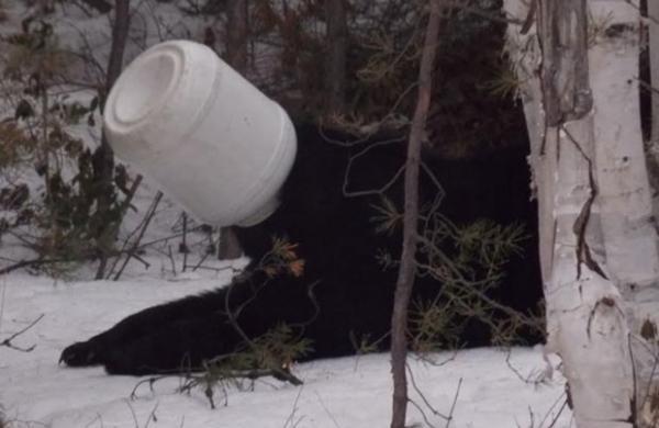 Urso atrapalhado fica com pote preso à cabeça e é resgatado no Canadá