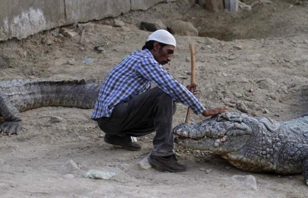 Crocodilo enorme parece hipnotizado ao receber