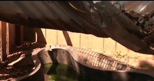 Homem mant駑 dois jacar駸 de mais de 2 metros vivendo como animais de estima鈬o em seu quintal