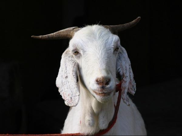 Família recusa terreno, R$ 5 mil e carro oferecidos por cabra domesticada