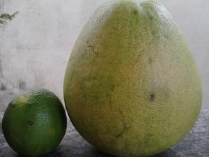 Laranja de quase dois quilos e sem semente chama atenção no Tocantins