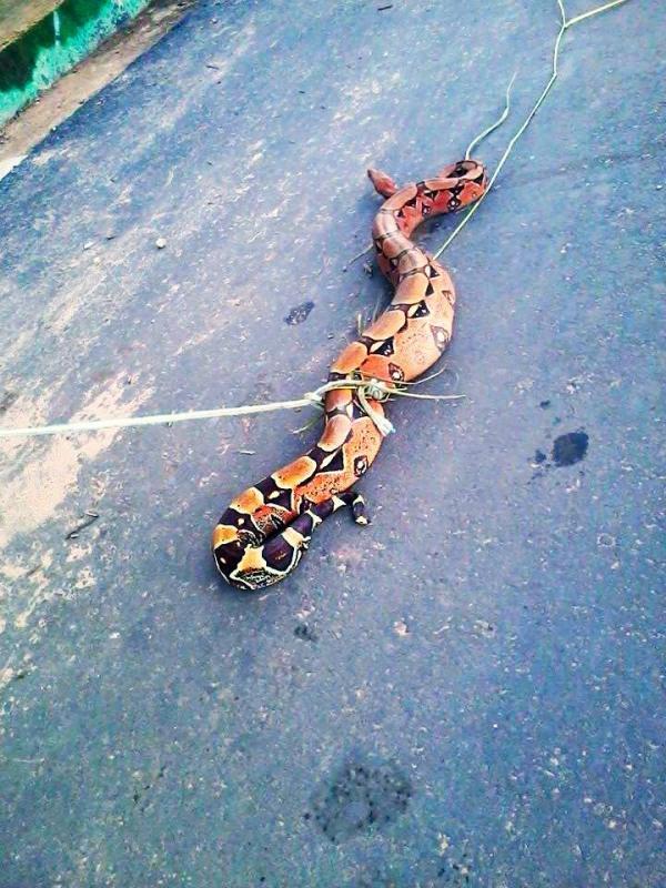 Cobra jiboia de mais de 2 metros é capturada por moradores do centro de Altos