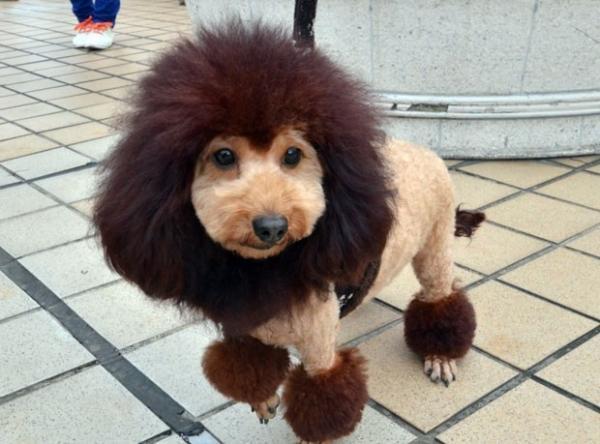 Loja japonesa promove encontro de cães com aparência de leões