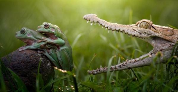 Fotógrafo flagra momento em que crocodilo fica prestes a dar o bote em sapos tendo relação íntima