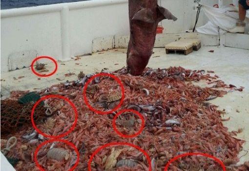 Barata marinha gigante intriga equipe ao dividir banquete com tubarão raro