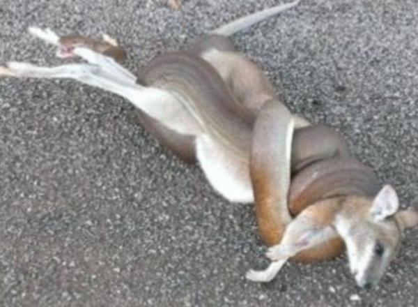 Cobra é flagrada devorando espécie de canguru durante churrasco na Austrália