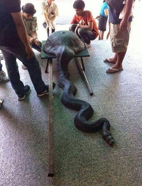 Foto de cobra engolindo