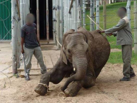 Parque sul africano é acusado de crueldade terrível com seus elefantes