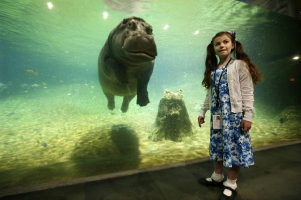 Hipopótamo posa para foto durante mergulho em aquário nos EUA