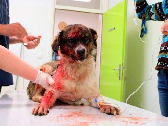 Cão sobrevive e se recupera após ser baleado por ?assassino de aluguel? que recebeu R$ 16 para matá-lo