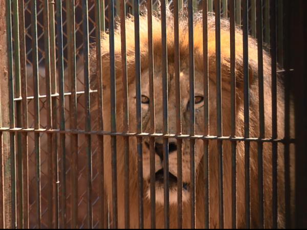 Ex-dono de leão que reapareceu após sumiço explica hoje