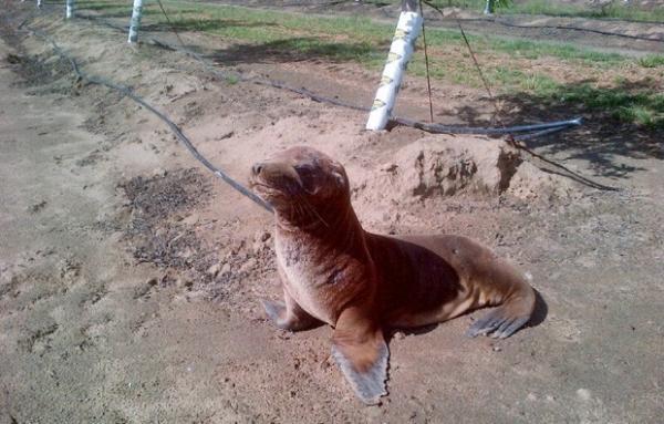 Leão-marinho surpreende ao ser achado a 1 km de rio nos EUA