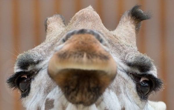 Girafa com