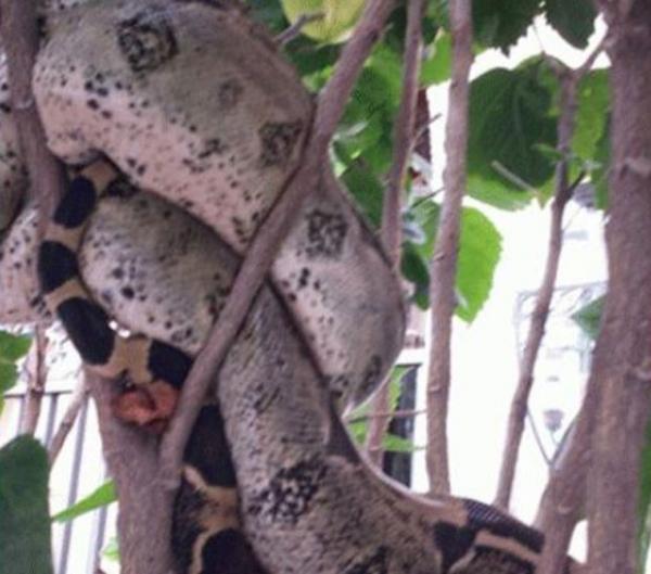 Cobra enorme é vista em árvore e assusta moradores nos EUA