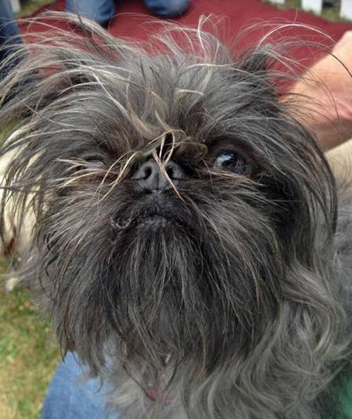 Concurso irá eleger o cão mais feio do mundo em eleição online