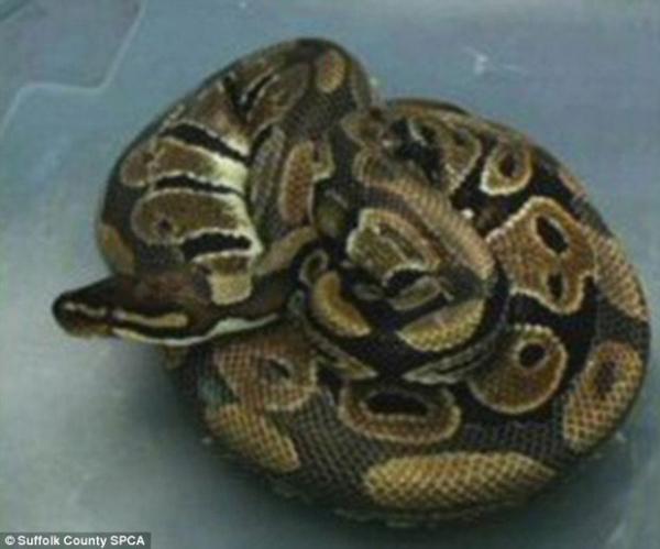 Casal leva enorme susto ao encontrar cobra píton aninhada em sofá de apartamento