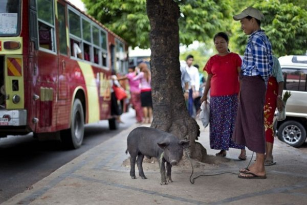 Família passeia com porco e pega até ônibus em Mianmar