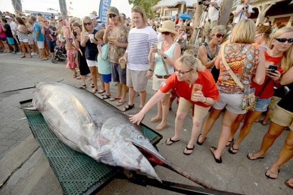 Marlim-azul de 270 kg e avaliado em US$ 500 mil vira atração na Flórida
