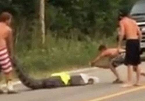 Após bebedeira, rapaz leva mordida ao tirar jacaré de estrada com amigos