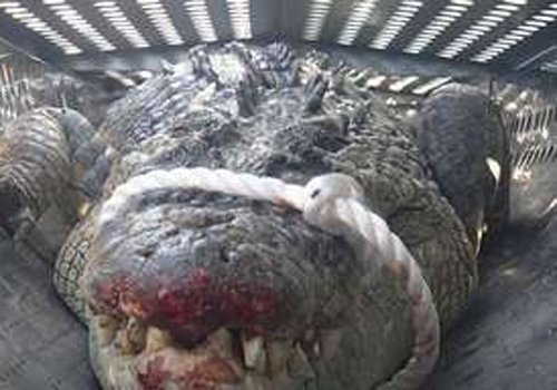 Crocodilo de 3,7 metros é capturado após aterrorizar escola pré-primária