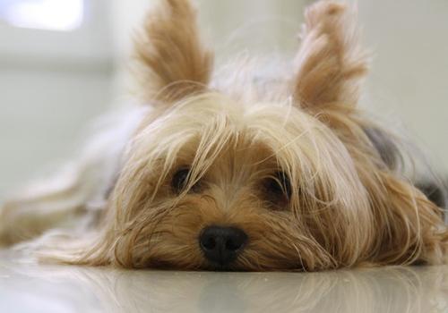 Cão sobrevive um mês trancado em casa por comer cadáver de sua dona