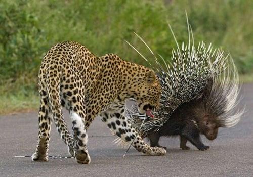 Leopardo faminto se dá mal ao atacar porco-espinho na África do Sul