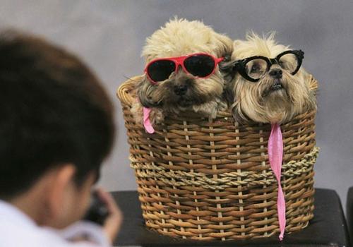 De óculos de sol, cães posam para foto em cesto nas Filipinas