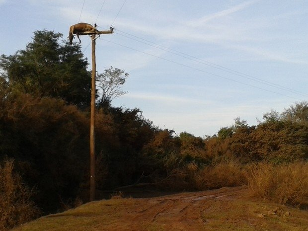 Uma semana ap cheia do Rio Uruguai, vaca segue pendurada em poste no RS
