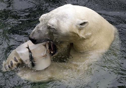 Urso ganha