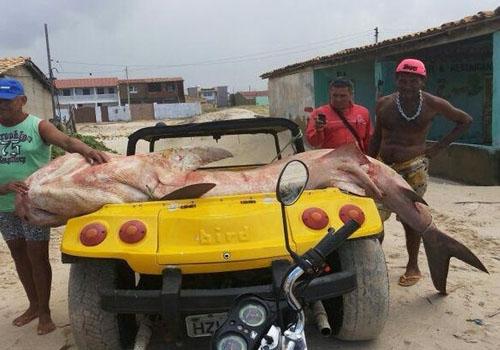 Tubarão-tigre com quase 4 metros é capturado por pescador em Sergipe