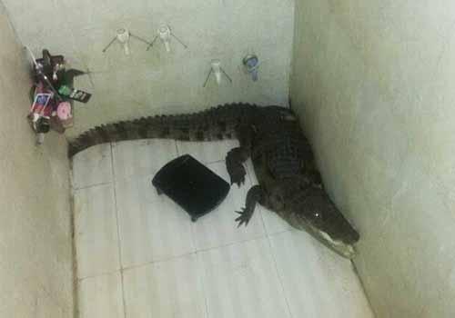 Família fica apavorada ao se deparar com crocodilo em banheiro na Índia