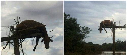 Após ser arrastada por chuva, vaca fica presa em poste