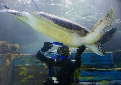 Mergulhador usa escova para acariciar tartaruga em aquário