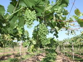 Produção de uva chega ao Norte do Piauí